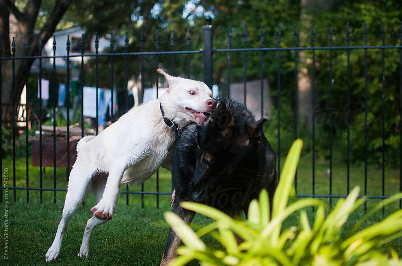 Dogs play fighting by Chelsea Victoria for Stocksy United