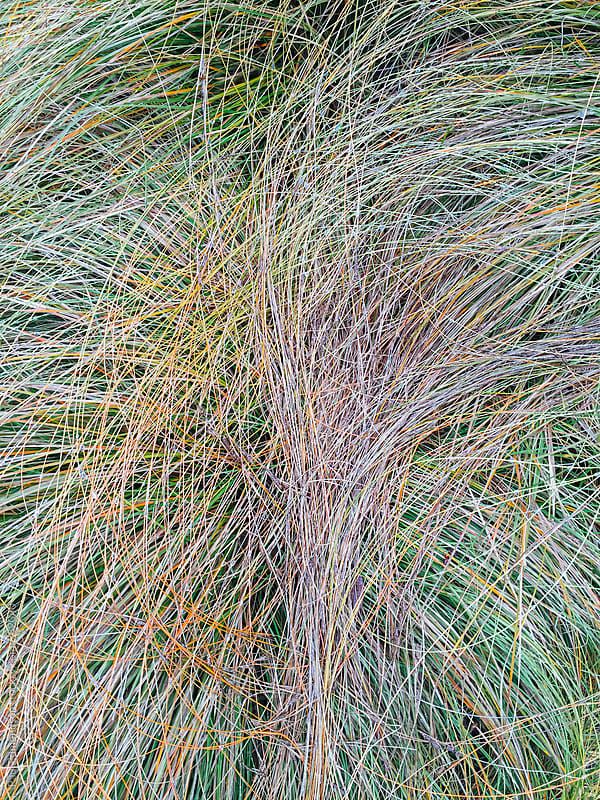 Close up of Snow tussock grasses by Paul Edmondson for Stocksy United