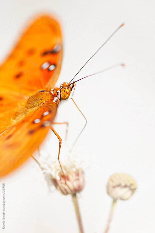 Gulf Fritillary butterfly on a flower by David Smart for Stocksy United