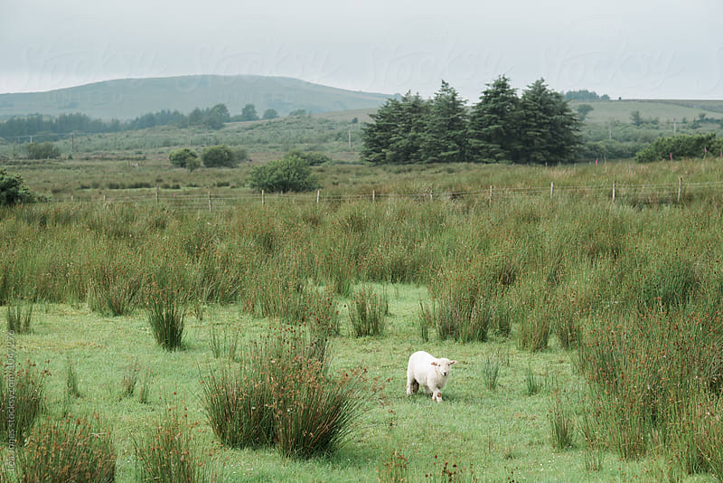 Sheep in Welsh countryside by Léa Jones for Stocksy United