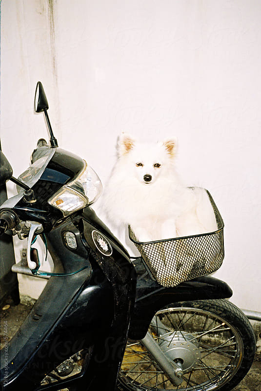 Cute small dog in a motorbike basket by Di Na for Stocksy United
