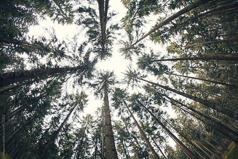 Wide angle shot of coniferous forest. by Mosuno for Stocksy United