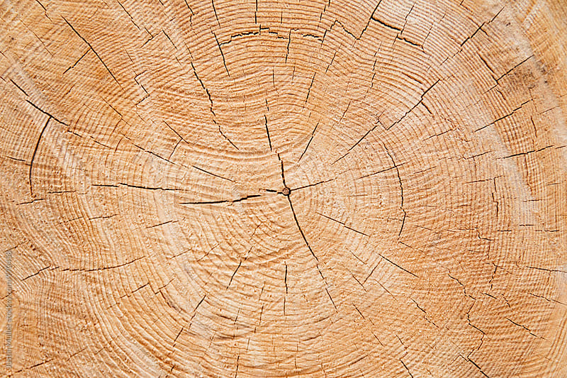 Tree growth rings on fresh cut evergreen tree by Justin Mullet for Stocksy United