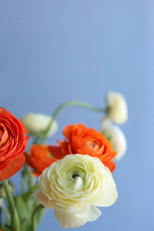Close Up Of Orange And Yellow Ranunculus Flowers by ALICIA BOCK for Stocksy United