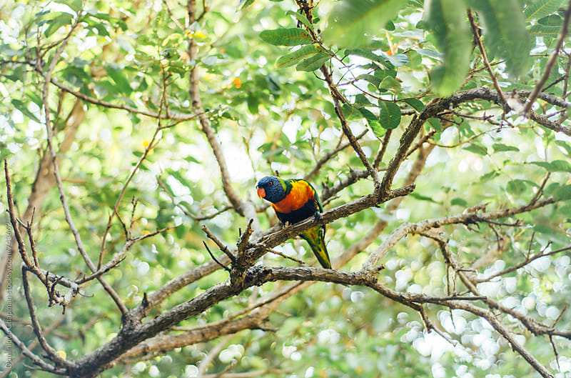 Rainbow Lorikeet perched in a tree by Dominique Chapman for Stocksy United