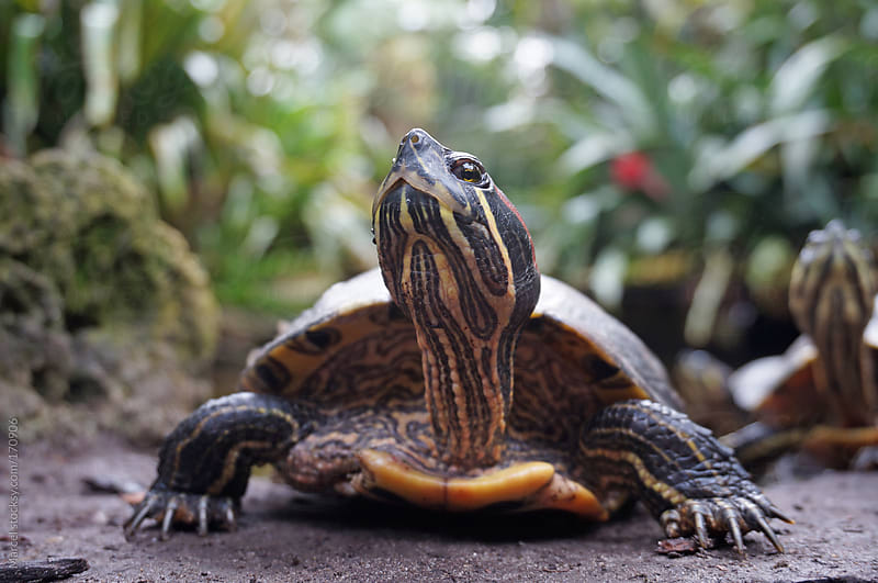 Red-eared turtle by Marcel for Stocksy United