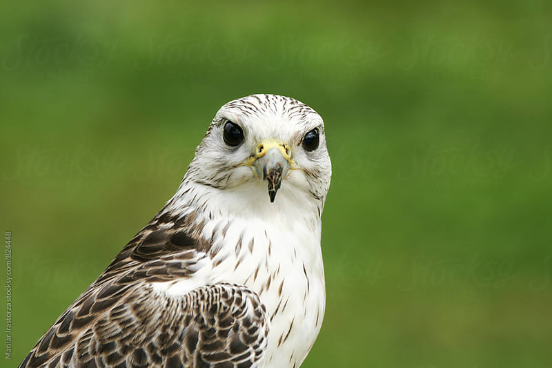 Saker falcon with broken beak by Marilar Irastorza for Stocksy United