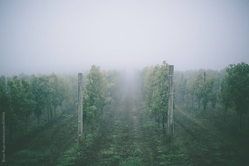 Foggy Vineyard by Bryan Rupp for Stocksy United