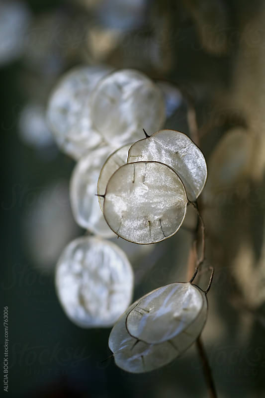 Lunaria Seed Pods Shining In Morning Light by ALICIA BOCK for Stocksy United