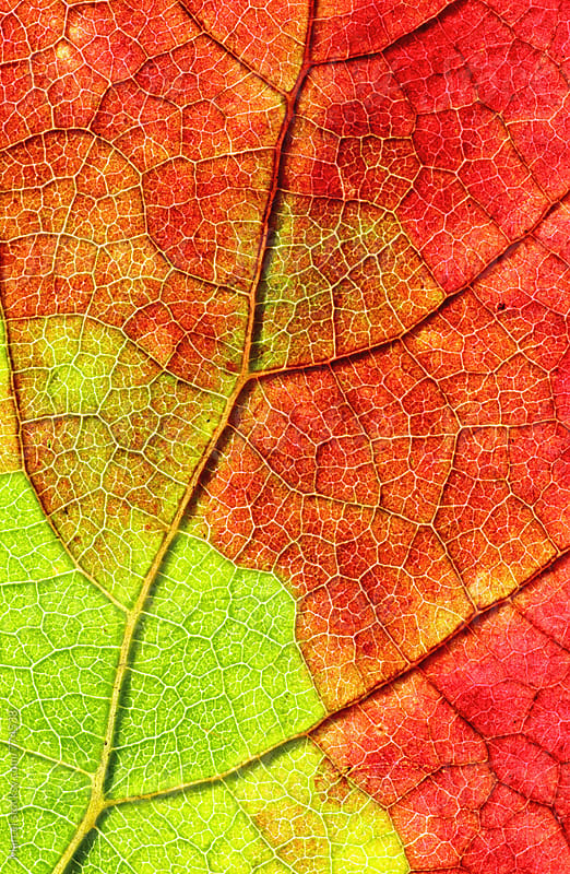 Backlit grapevine leaf slowly turning red in fall by Marcel for Stocksy United