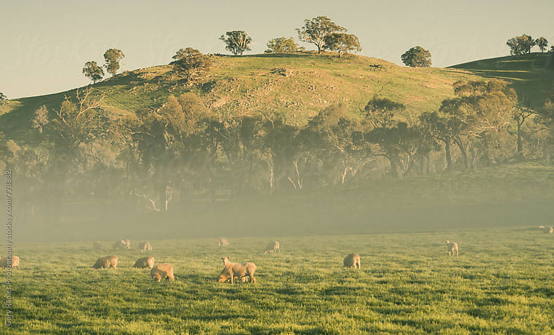 Merino Sheep Grazing in the Fog by Gary Radler Photography for Stocksy United