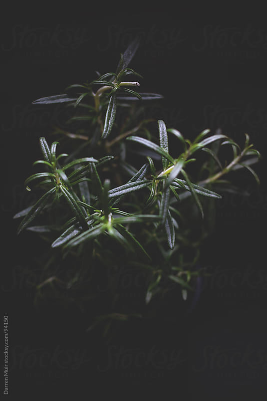 Rosemary plant.  by Darren Muir for Stocksy United
