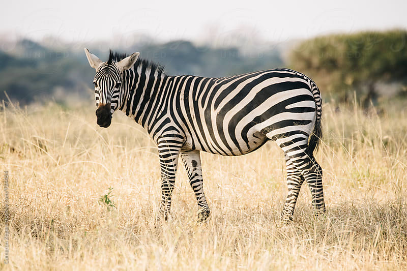 zebra standing in grassy plain in Tanzania by Cameron Zegers for Stocksy United
