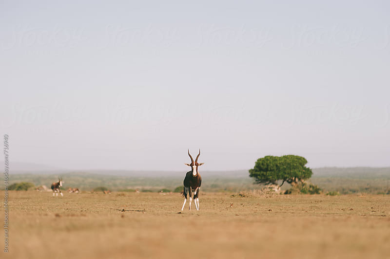 Gemsbok by Bruce and Rebecca Meissner for Stocksy United