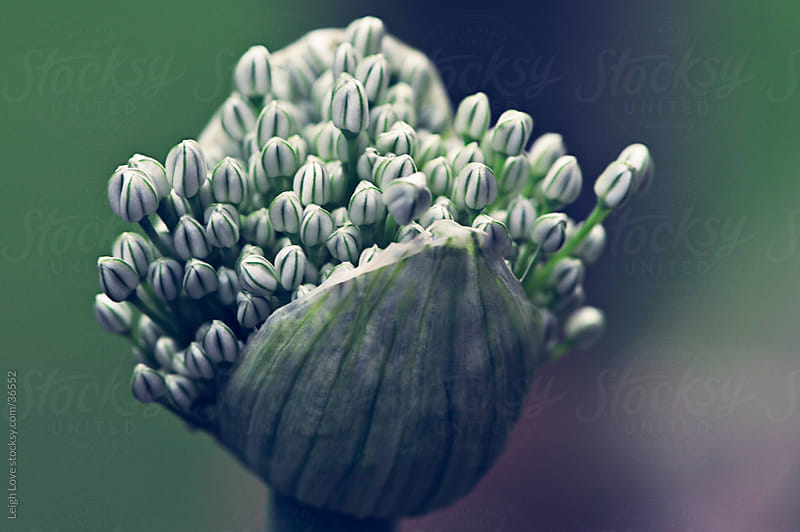 Allium About to Bloom by Leigh Love for Stocksy United