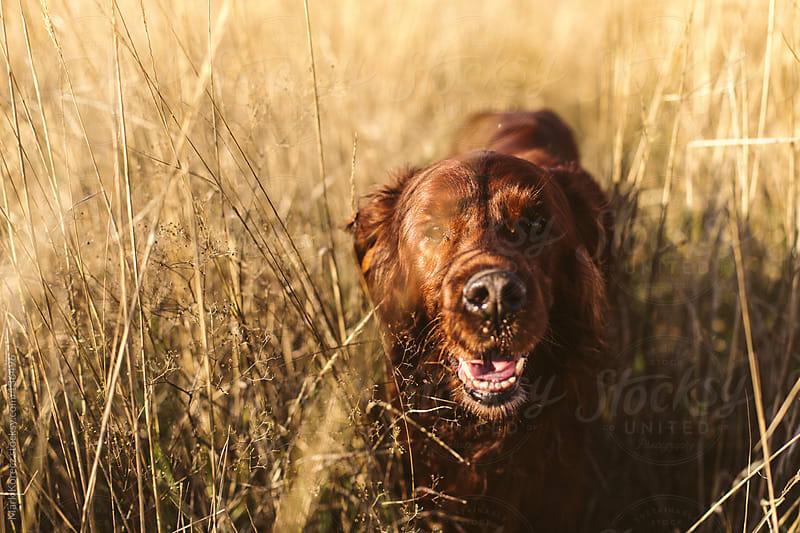 Dog walks outdoors by Mark Korecz for Stocksy United