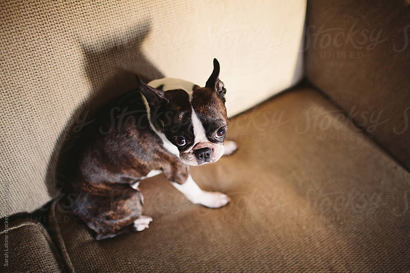 a boston terrier sitting on a couch looking defensive by Sarah Lalone for Stocksy United
