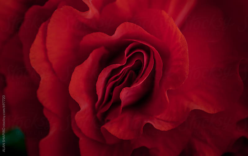 red rose by alan shapiro for Stocksy United