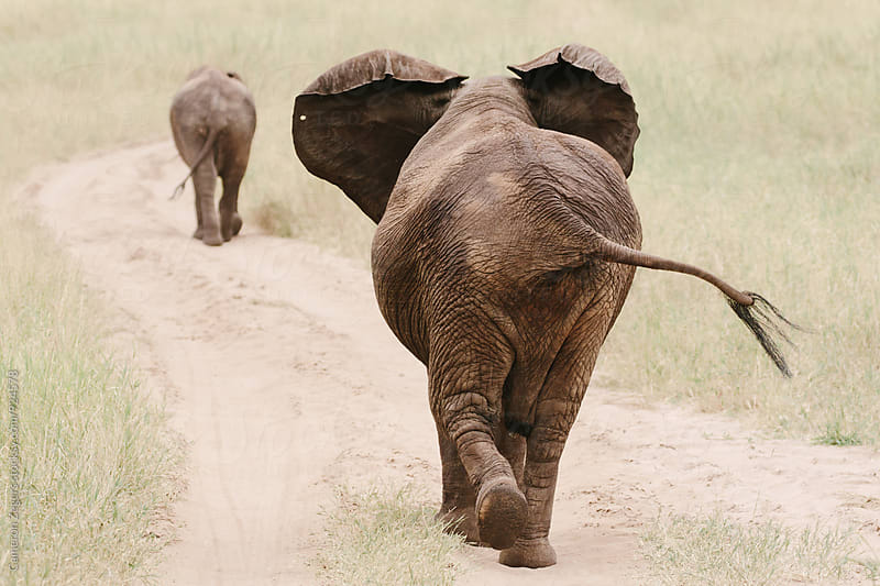 elephants walking along dirt road in Tanzania by Cameron Zegers for Stocksy United