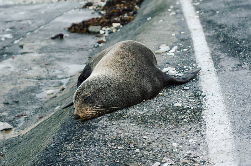 New Zealand fur seals sleeping in Kaikoura, New Zealand by Dominique Chapman for Stocksy United