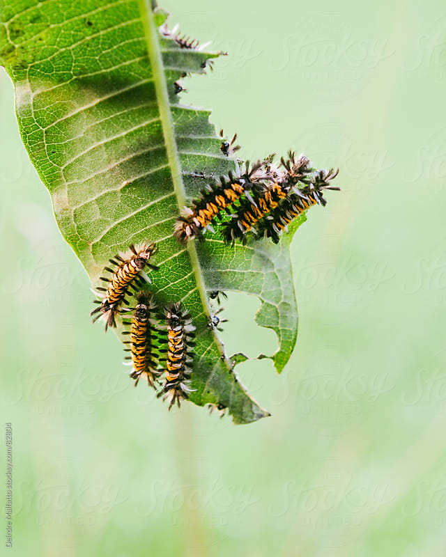milkweed tussock caterpillars eating a milkweed leaf by Deirdre Malfatto for Stocksy United