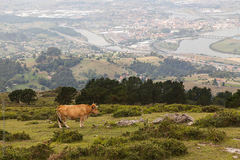 Cow on a hill by Marilar Irastorza for Stocksy United