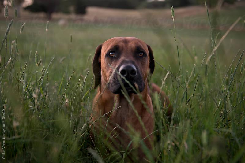rhodesian ridgeback dog in field by Gillian Vann for Stocksy United