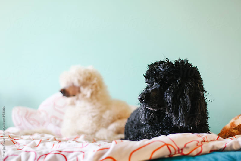 Black and white poodle on the bed  by Marija Kovac for Stocksy United