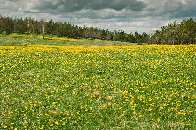 Yellow flower meadow by Branislav Jovanovic for Stocksy United