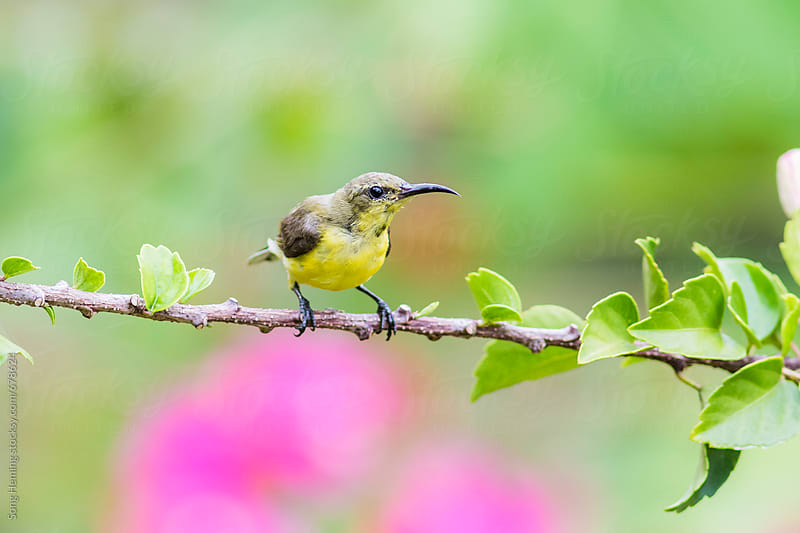 Olive-backed sunbird Female 黄腹花蜜鸟 by Song Heming for Stocksy United