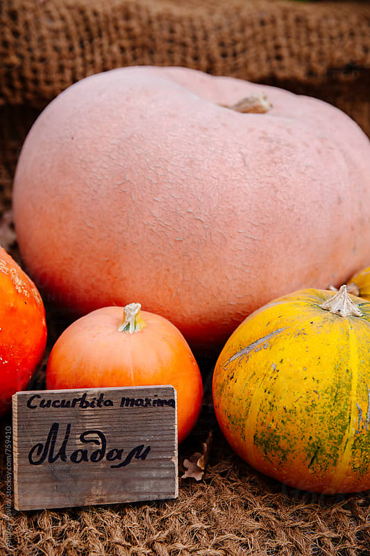 Colorful pumpkins at market by Andrey Pavlov for Stocksy United