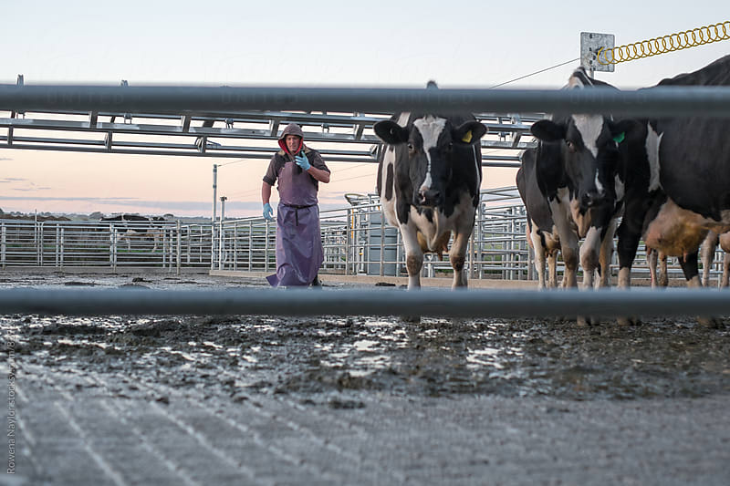 Farmer herding cows into the dairy for milking by Rowena Naylor for Stocksy United