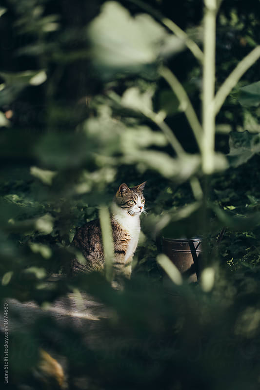 Sight of cat through bushes in garden by Laura Stolfi for Stocksy United