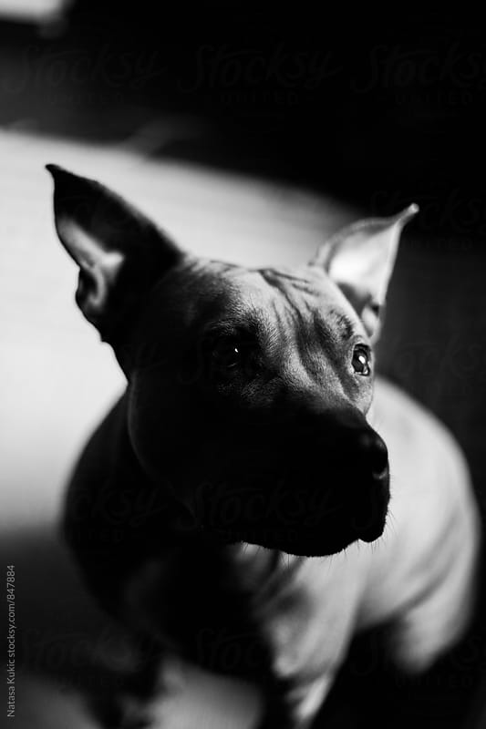Black and white portraits of a female pitbull by Natasa Kukic for Stocksy United