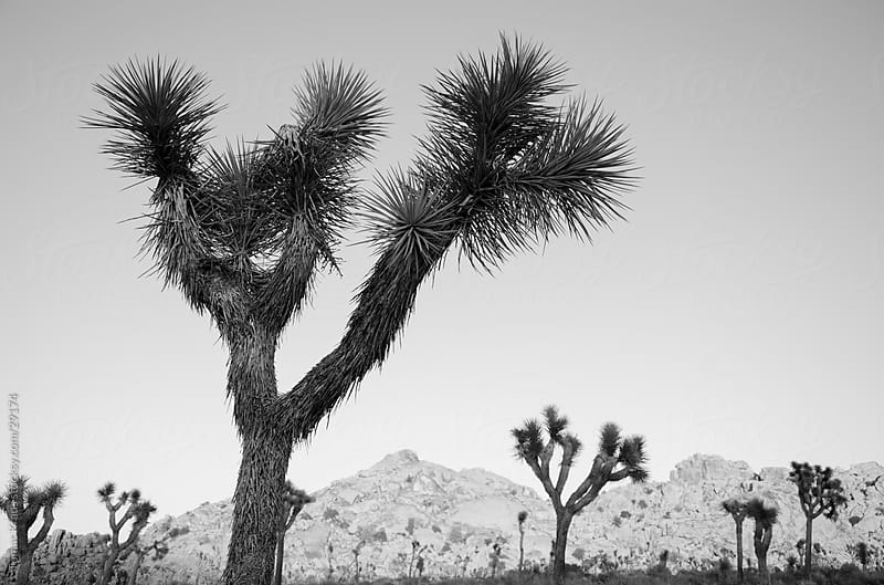 Joshua Tree National park by Tomas Kraus for Stocksy United