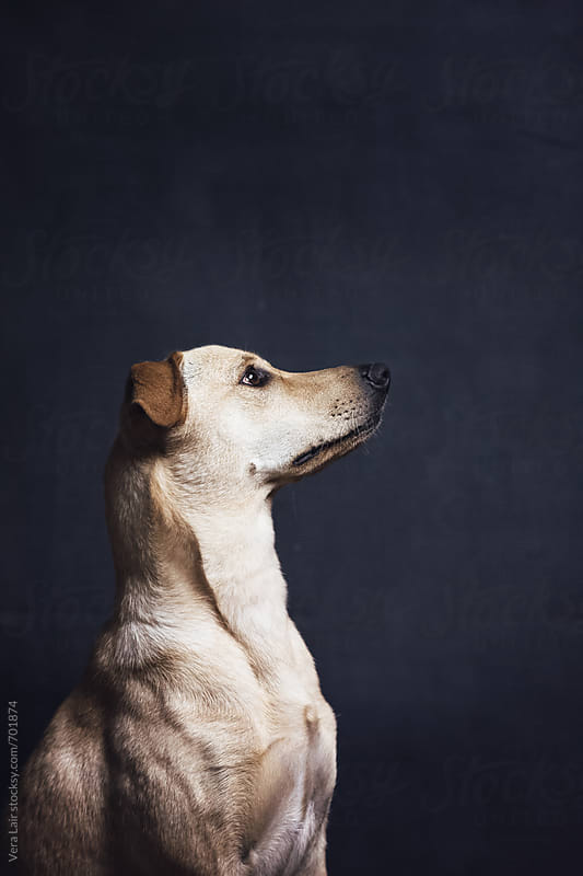 Portrait of a beautiful dog by Vera Lair for Stocksy United
