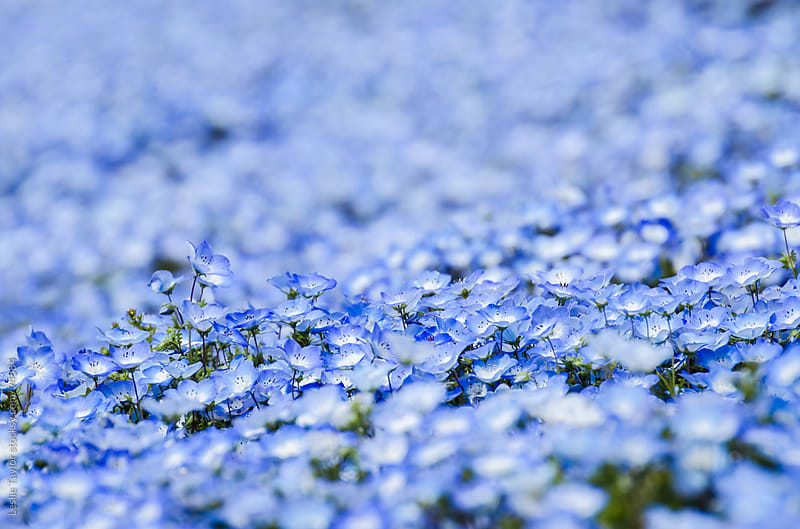 Field of Blue Nemophilia Flowers by Leslie Taylor for Stocksy United