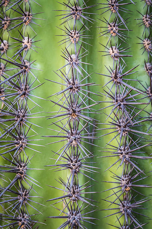 cactus thorns by alan shapiro for Stocksy United