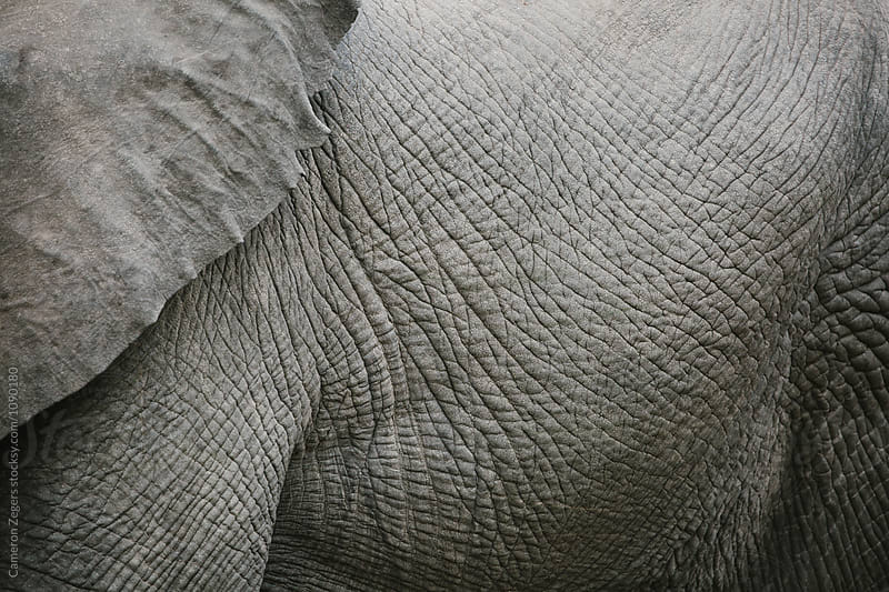 close up of elephant skin by Cameron Zegers for Stocksy United
