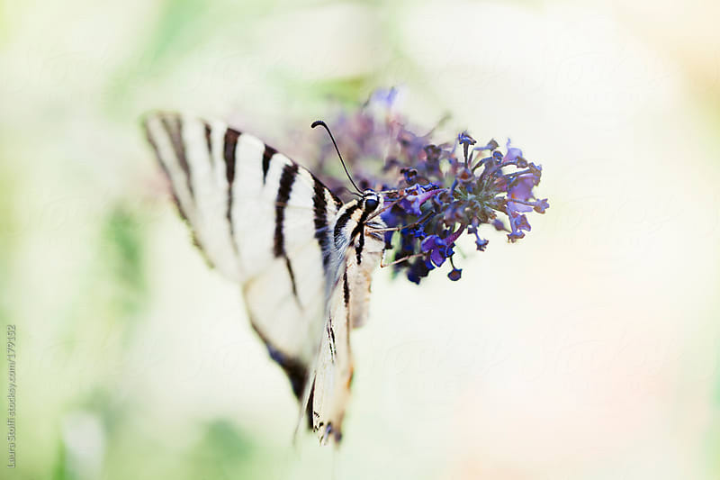 White and black striped butterfly fleets on purple butterfly-bush's flower by Laura Stolfi for Stocksy United