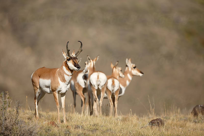 Group of Antelope by Paul Tessier for Stocksy United