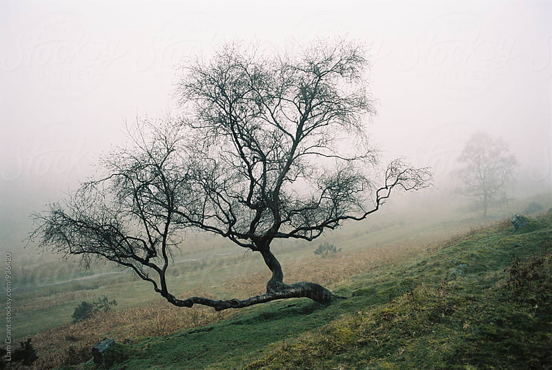 Tree in fog on a hillside. Derbyshire, UK. by Liam Grant for Stocksy United