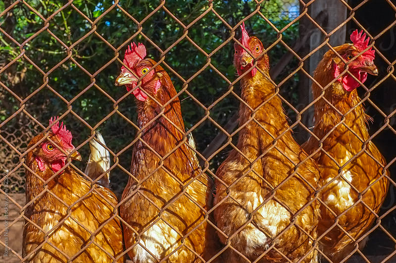 Farmyard Chickens Behind the Wire by Rowena Naylor for Stocksy United