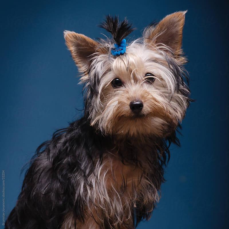 Cute little fluffy dog by Branislav Jovanović for Stocksy United