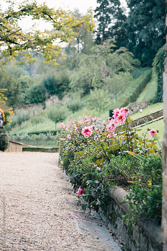 Pink flowers in a formal garden in Florence, in Autumn by Sarah Lalone for Stocksy United