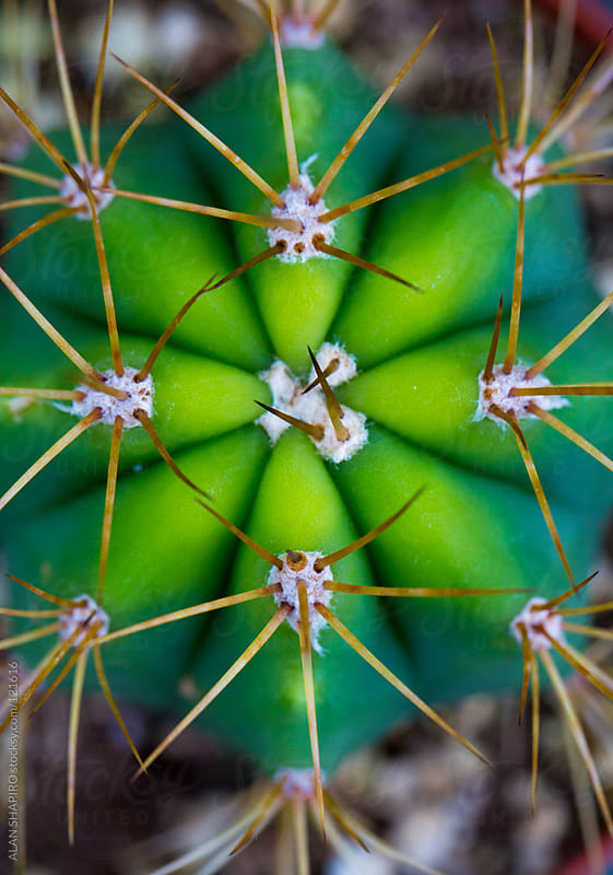 Cactus up close by ALAN SHAPIRO for Stocksy United
