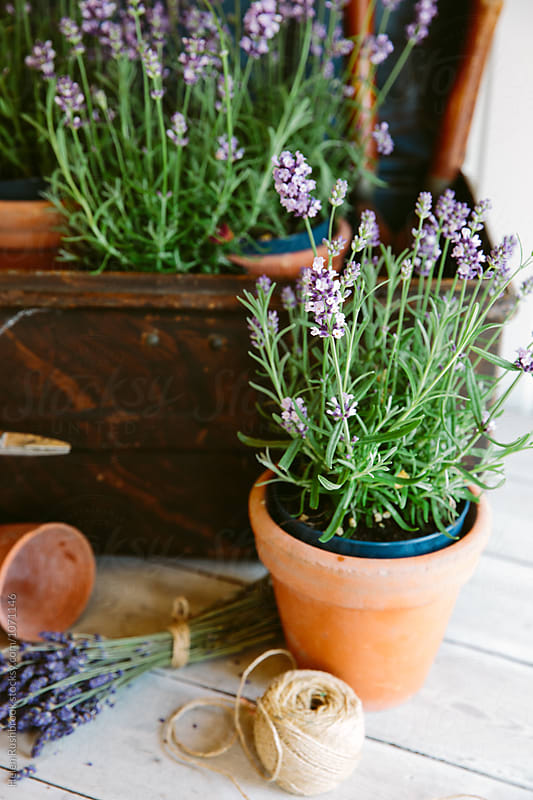 Lavender plant by Helen Rushbrook for Stocksy United