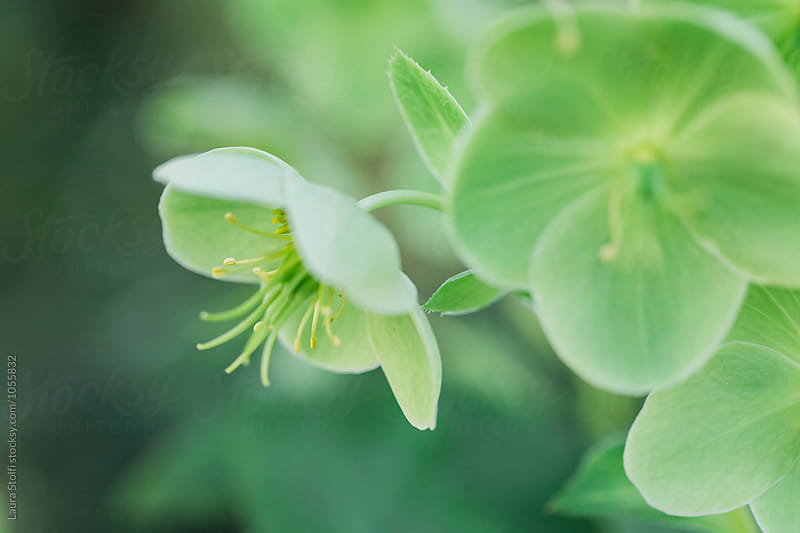 Green Hellebore flowers close up by Laura Stolfi for Stocksy United