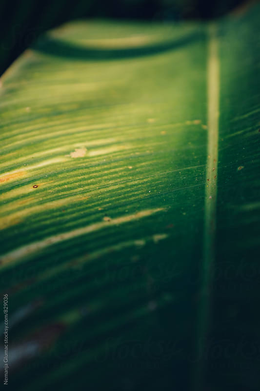 Dark Green Leaf in the Shadow by Nemanja Glumac for Stocksy United