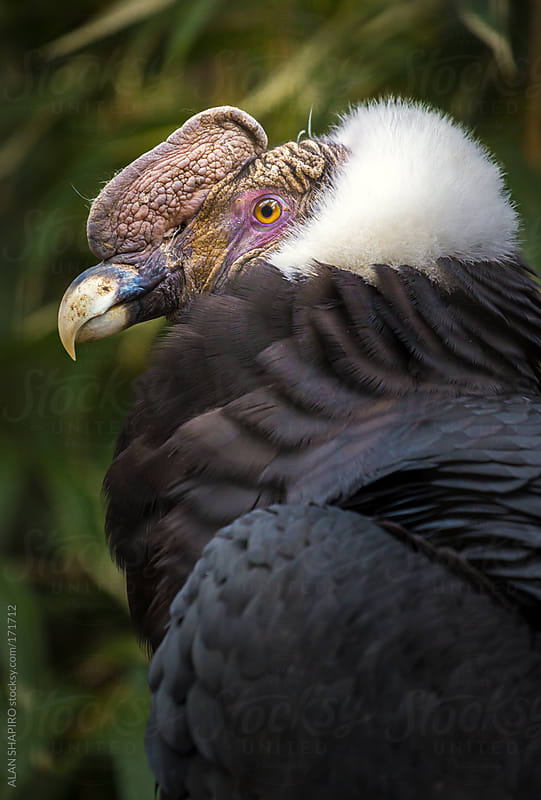 Male Andean Condor by ALAN SHAPIRO for Stocksy United